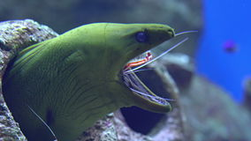 Cleaner shrimp cleans mouth of moray stock video footage