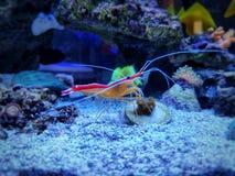 Lysmata amboinensis - Pacific cleaner shrimp
