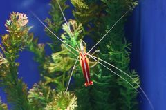 Cleaner shrimp. Is a common name for a number of swimming decapod crustaceans, that clean other organisms of parasites. photo taken in Qingdao Underwater world royalty free stock photos