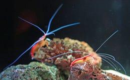 Cleaner Shrimp Lysmata amboinensis shrimp in aquarium tank