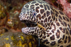 Cleaner Shrimp with Moray Eel Stock Images