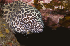 Cleaner Shrimp with Moray Eel. Cleaner Shrimp in the mouth of a honeycomb Moray Eel, Underwater indoneaia stock photo