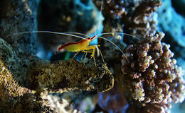 Cleaner shrimp. Сoral shrimp in its natural habitat. The northern cleaner shrimp Stock Image