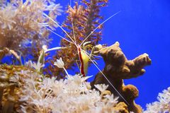 Cleaner shrimp. Pacific cleaner shrimp lysmata amboinensis on the coral reef royalty free stock photos