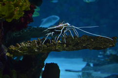 Cleaner shrimp. On the stone in the sea stock image