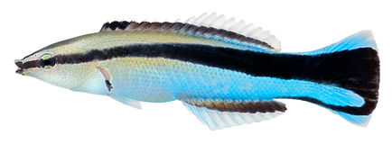 Cleaner Wrasse fish. Labroides Dimidiatus. Cleaner Wrasse fish isolated in white background. Labroides Dimidiatus stock photos