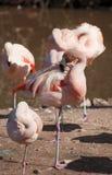 cleaning befjädrar den dess flamingoen royaltyfri bild
