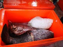 The catch for today, whereby the giant snapper cleaned and placed in the cooler box. stock photos