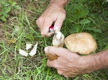 Cleaning Boletus Edulis eatable mushroom Royalty Free Stock Photo