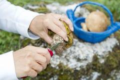 Cleaning Boletus Edulis eatable mushroom Royalty Free Stock Photography