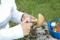 Cleaning Boletus Edulis eatable mushroom Royalty Free Stock Photos
