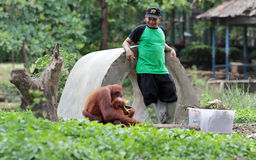 Cleaning the cage orangutan Royalty Free Stock Images