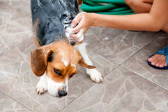 Cleaning dog Royalty Free Stock Photos