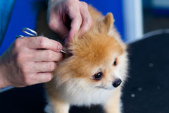 Ticks in ears of dog. Cleaning dog ticks in ears of dog royalty free stock image