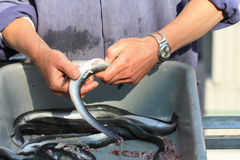 Cleaning eel Royalty Free Stock Images