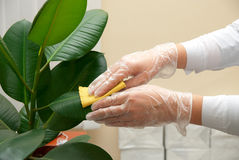 Cleaning ficus Stock Photography