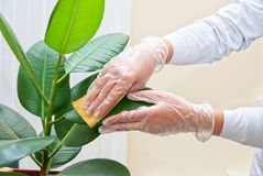 Cleaning ficus plant Stock Images