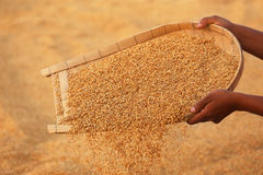 Cleaning of golden paddy seeds Stock Photos