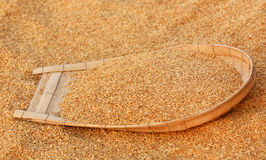Cleaning of golden paddy seeds Royalty Free Stock Image