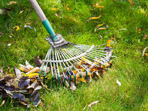 Cleaning green lawn from leaf litter Royalty Free Stock Images