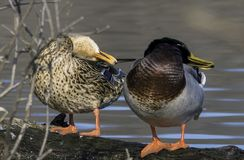 Cleaning And Grooming Time. Ducks in the rock river in wisconsin Stock Image