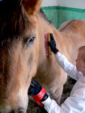 Cleaning a horse. A girl cleaning a horse in a stable Stock Photography