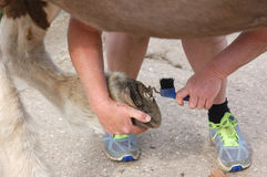 Cleaning horses hoof Stock Photography