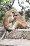 cleaning inna małpa jeden Zdjęcie Stock