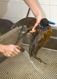 Cleaning an oil bird stock photos