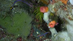 Cleaning pipe fish Doryrhamphus janssi in Lembeh strait stock video footage
