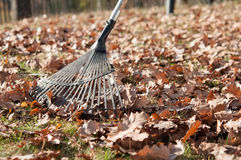 Cleaning with rake of autumn leaves Royalty Free Stock Photo