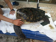 Cleaning sea turtle. Somebody is cleaning a turtle with a sponge Royalty Free Stock Images