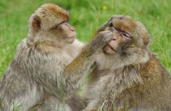 Cleaning time. A monkey cleaning and washing its partner Royalty Free Stock Photo