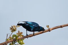 Starling cleaning Royalty Free Stock Photos