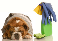 Cleaning up after a bad dog Royalty Free Stock Photography
