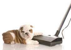 Cleaning up after the dog. Messy dog - english bulldog laying beside vacuum Royalty Free Stock Photo