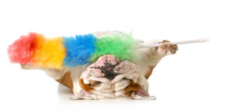 Cleaning up dog hair. Cleaning up after the dog - english bulldog upside down holding feather duster isolated on white background stock image