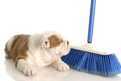 Cleaning up after new puppy Royalty Free Stock Photos