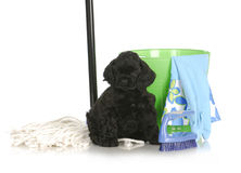 Cleaning up after new puppy Royalty Free Stock Photography