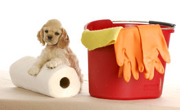 Cleaning up after puppy Royalty Free Stock Photos