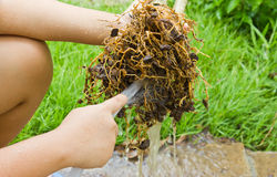 Cleaning up the root. Tree to decorate royalty free stock image