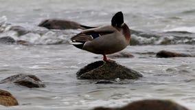 Cleaning wild duck in Baltic Sea, Göhren, Germany stock video