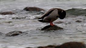 Cleaning wild duck, Göhren, Germany stock footage