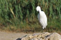 cleaningegret dess little plumage royaltyfri bild