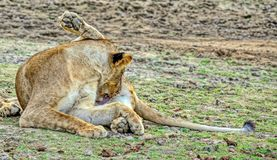 Cleanliness is the key to health. The lioness of the African lion. Resting after a hearty meal. Blurred focus. Closeup stock photography