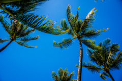 Clear blue sky above the palm branches of the palm trees at the Ko Olina resort area on the tropical island of Oahu Stock Photography