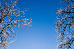 Clear blue sky between frozen trees. Stock Images