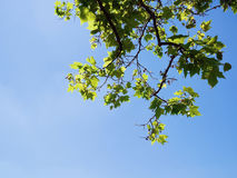 Clear blue sky and green tree leaves. From frog`s eye view Stock Image