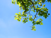 Clear blue sky and green tree leaves from frog& x27;s eye view. Clear blue sky and green tree leaves on top from frog& x27;s eye view Stock Images