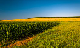Clear blue sky over corn fields on a farm in Southern York Count Stock Images